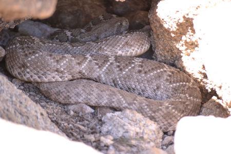 Western diamondback rattlesnakes