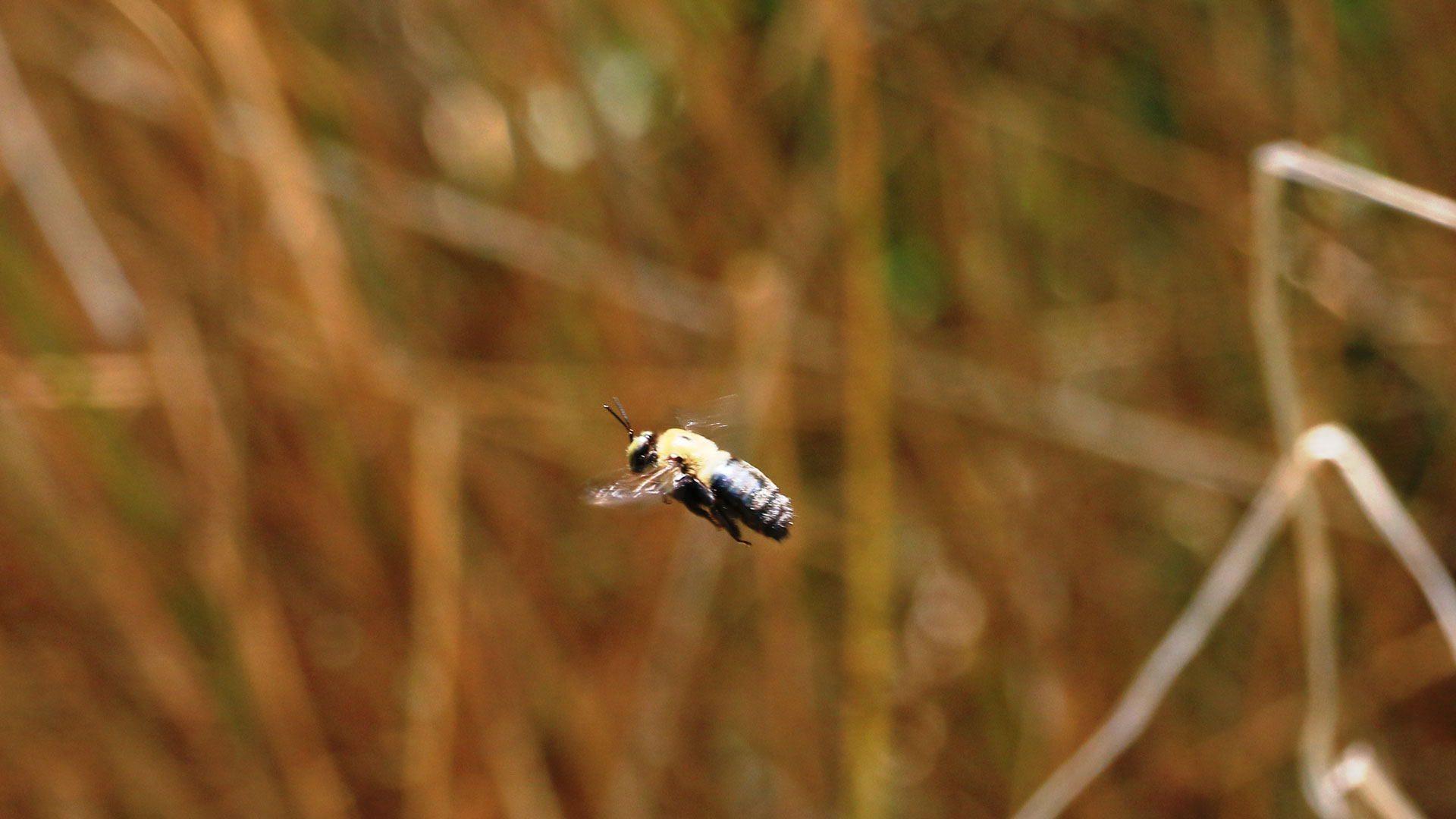 Bumblebees, photo courtesy dbarcus1, Flickr