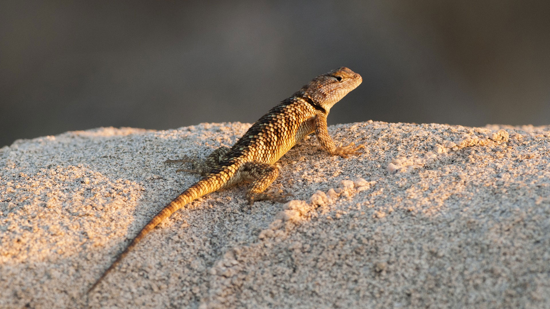 Spiny Lizards